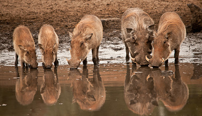 Warthog family at the waterhole