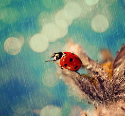 Ladybug in the rain