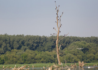 Cormorants on tree