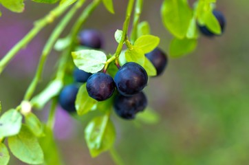 Sprig with fresh ripe blueberries in summer.