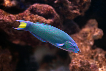 Moon wrasse in aquarium