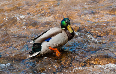 Male mallard duck stepping in water.
