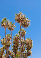 Tall dry palm trees on clear sky.