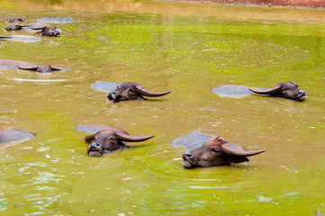 Herd of Thai buffalo cooling during the day