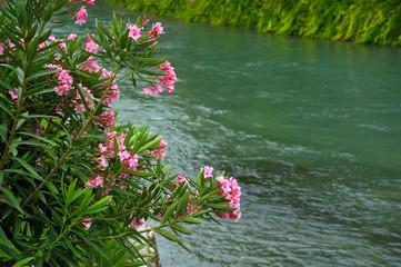 Oleander am Fluss