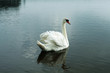 swan on blue lake water , swans on pond, nature
