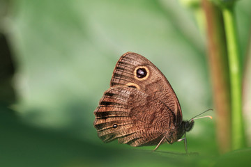 Pearly Eye Butterfly