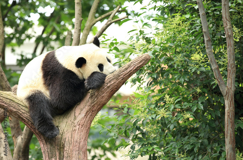 Keuken foto achterwand Panda giant panda at forest
