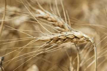 Macro shot on wheat