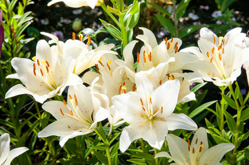 plant of flowering white lilies