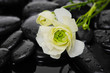 still life with pebbles and ranunculus flower