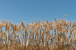 Wheat ears against the sky