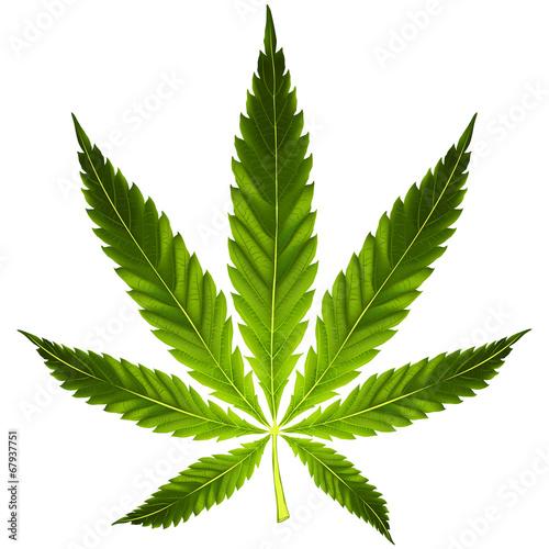 Cannabis leaf - 67937751