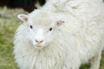 White domestic sheep