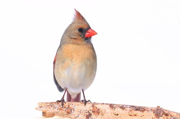 Northern Cardinal On White