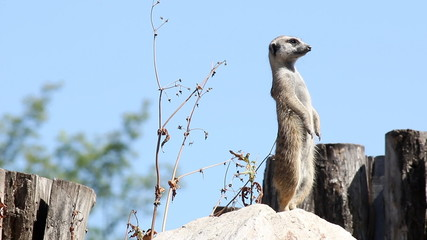 meerkat watching for predators
