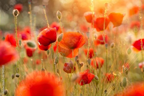 Deurstickers Poppy Blühendes Mohnfeld im Abendlicht mit Bokeh