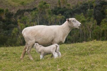 ewe feeding its lamb