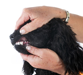 teeth of poodle