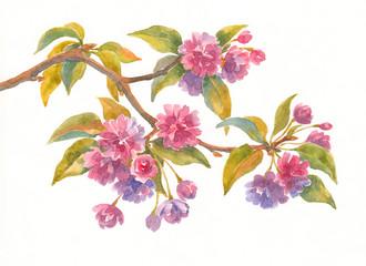 Акварельные цветы, ветка сакуры.