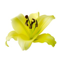 yellow lily on a white background