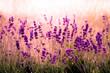 canvas print picture - Lavendelfeld rot