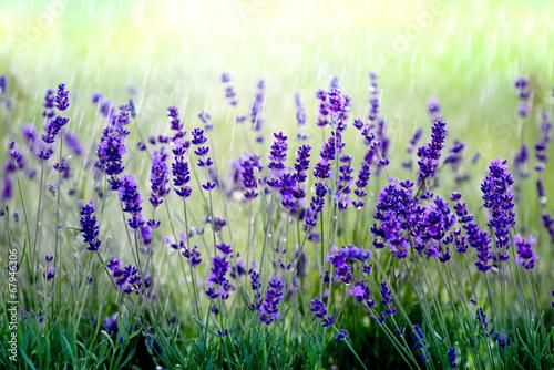 Lavendel im Regen