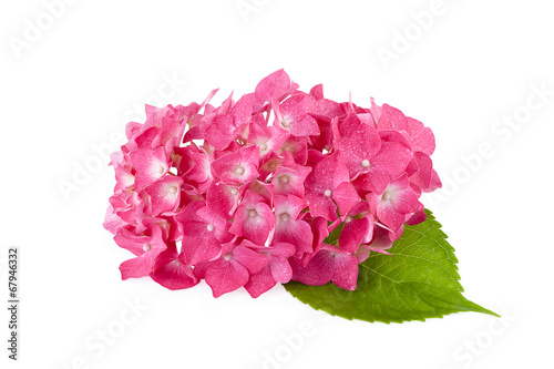 Poster Hydrangea Hydrangea flowers isolated on white