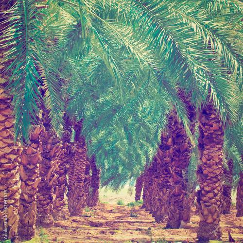 Foto op Aluminium Snoeien Date Palm