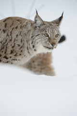 Lynx in Winter.