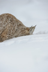 Lynx Digging in Snow.