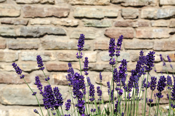 Close-up of blossom lavender bunch