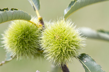 Chestnuts growing on the tree closeup