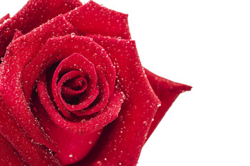 Close up Red rose with drops on white background