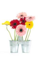 Group of Fresh Daisys in zinc bucket  isolated, Clipping path