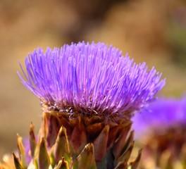 Wild artichoke flower