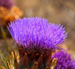 Splendid flower of wild artichoke