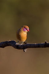 Female Violet-Eared Waxbill
