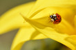 Ladybug (Coccinella) on yellow sunflower petal