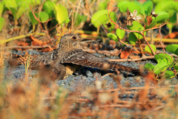 Savanna Nightjar (Caprimulgus affinis) in Luzon, Philippines