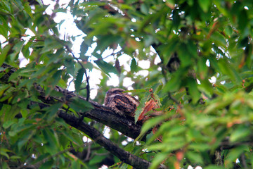 Grey nightjar (Caprimulgus indicus) in Japan