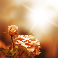Defocus blur background with rose