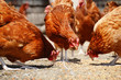Chickens on traditional free range poultry farm - 67955103