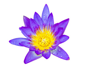 Purple lotus flower with yellow pollen and water drop on white b