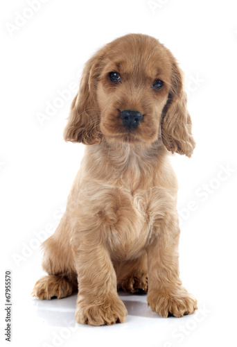 canvas print picture puppy english cocker