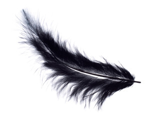 Studio isolated fluffy black feather, white background.