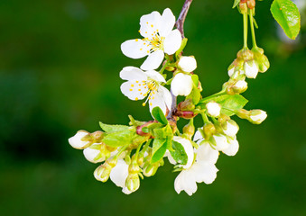 Branch of blossoming cherry against a green garden