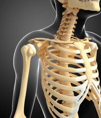 shoulder skeleton artwork