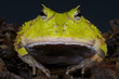 Surinam horned frog / Ceratophrys cornuta