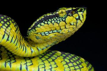 Wagler's pit viper / Tropidolaemus wagleri